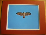 Red-tailed Hawk (matted print)