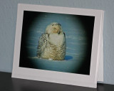 Snowy Owl (card)
