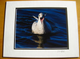 Thayer's Gull (matted print)