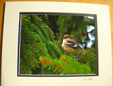White-winged Crossbill (matted print)