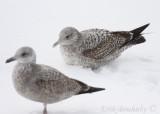 1st-cycle Herring Gull