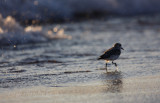 Sanderling running along the beach