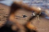 Sanderling through driftwood