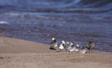 Sanderlings with an American Golden Plover