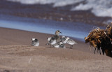 Sanderlings around the American Golden Plover