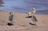 American Golden Plover (bottom right) with two Black-bellied Plovers