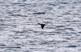 Harlequin Duck flying by