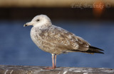 2nd-winter Herring Gull