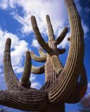 saguaro_cactus_national_park