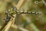 Onycogomphus forcipatus