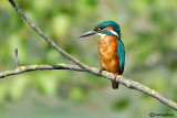 Martin pescatore -Common Kingfisher (Alcedo atthis)