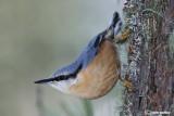 Picchio muratore(Sitta europaea)