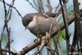 Bigiarella-Lesser Whitethroat(Sylvia curruca)