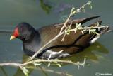 Gallinella d'acqua-Common Moorhen  (Gallinula chloropus)