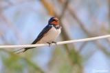 Rondine-Barn Swallow (Hirundo rustica)