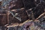 Girfalco-  Gyrfalcon (Falco rusticolus)