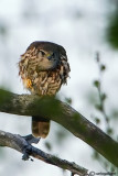 Smeriglio- Merlin (Falco columbarius)