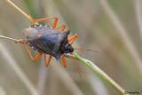 Eterotteri- Heteroptera