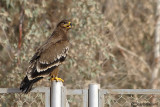 Aquila delle steppe-Steppe Eagle (Aquila nipalensis)