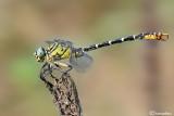 Onychogomphus forcipatus ssp. unguiculatus male