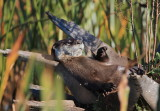 northern river otter, wetlands Florida