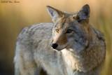 Coyote 09_28_09.jpg