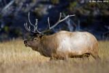 Bull Elk 2 9_25_10.jpg