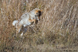 coyote mousing 09_25_10.jpg