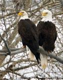 Bald Eagles 01_30_06.jpg