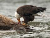 Eagle Picking The Carcass 05_21_06.jpg