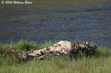 Elk Carcass Along the Madison.jpg