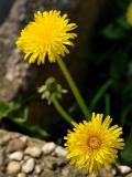 Dandelions On The Rocks