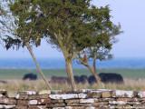 Pirol (Oriolis oriolis)