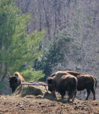 Little Bay Bison Farm