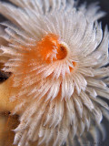 Christmas Tree Worm Spawning