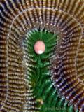 Brain Coral Egg