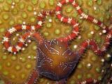 Brittle Star & Star Coral Eggs