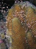 Boulder Star Coral Spawning