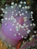 spawning corallimorph