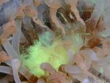 spawning tube-dwelling anemone