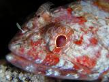 Red Lizardfish