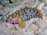 Hairy Blenny