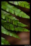 Soft Ferns