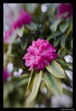 Rhododendron 3