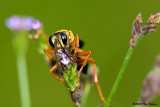 Just some wasp like bug