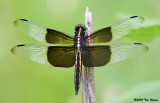 Widow Skimmer ♂ ( juvenile )