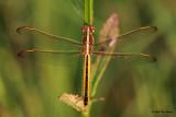 Golden-Winged Skimmer ♀
