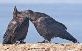 Ravens grooming