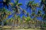 Nativo subindo coqueiro na Ilha de Boipeba - Praia da Cueira