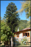 Monkey-puzzle tree is unique to the Patagonia region; hostess Nely is usually busy working.